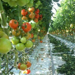 Tomaattiterttuja kasvihuoneessa.