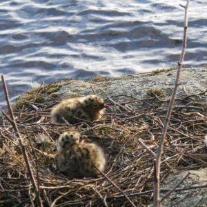 Nämä kalalokin poikaset ovat noin viikon ikäisiä