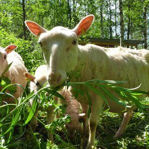 Kajaanin Vimpelinlammella kolme lammasta haukkaa horsmaa auringonpaisteessa.