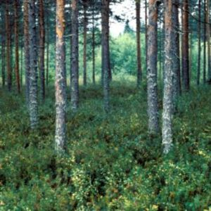 Metsä on näköistään. Kuvassa mäntymetsää ja aluskasvillisuutta.
