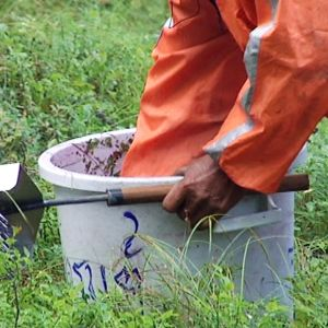 Thaimaalainen marjanpoimija poistaa roskia mustikkaämpäristä.