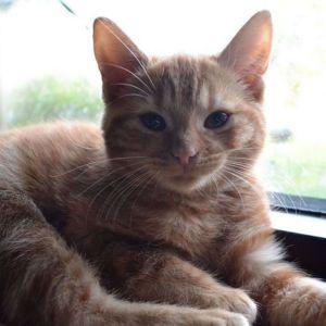 Kissanpentu makaa ikkunan vieressä