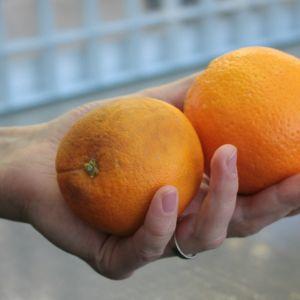 Pilaantuvia appelsiineja kädessä