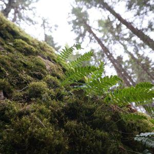 Saniaisia kasvaa sammaleisella kivellä
