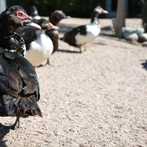Myskiankat ja -sorsat kävelyllä Kupittaan puiston lintuaitauksessa.