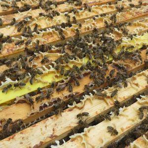 Mehiläiset kennoissaan