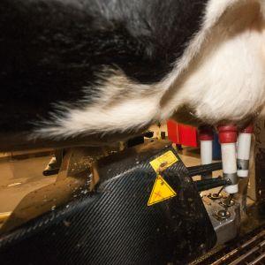 Lypsyrobotti ottaa maitoa lehmän utareista