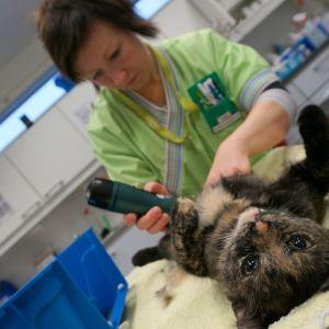 Eläintenhoitaja Mari Weiden valmistelee Niisku-kissan leikattavaksi.