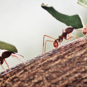 Muurahaiset kantavat lehtiä.