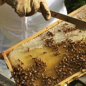 Mehiläiset hunajakennolla.