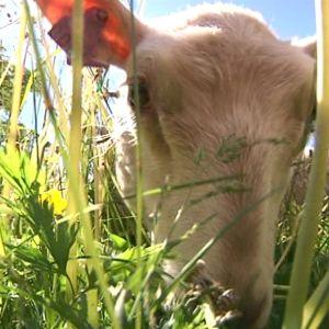 Lammas leikkaa valleilla kortta kovemmin kuin ruohonleikkuri