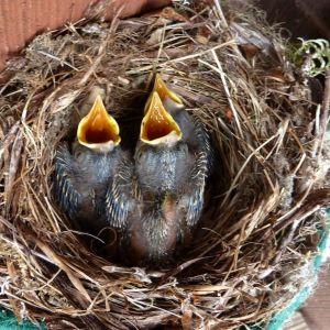 Poikaset odottavat nokka auki ruokaa pesässään