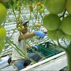 Maahanmuuttajataustainen työntekijä karsii tomaattipensaita kasvihuoneessa.