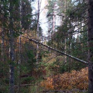 Myrskyn kaatama koivu makaa sähkölinjalla metsän siimeksessä Liperissä.