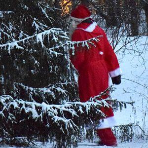 Joulupukki pujahtaa kuusen taakse.