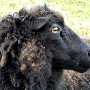 Musta lammas.