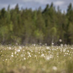 Tupasvillat tuulessa Salamajärven kansallispuistossa.