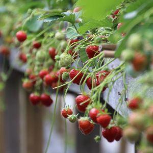 Raakaa ja kypsää mansikkaa tunnelimaisessa kasvihuoneessa.