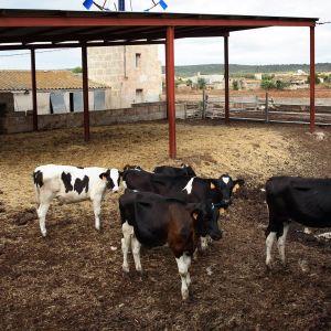 Lehmä lehmiä Mallorca espanja