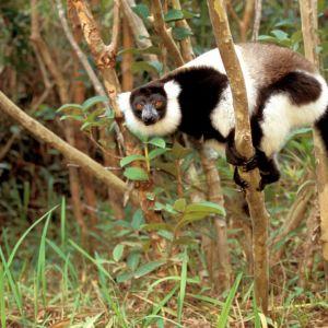 Madagaskarin vari kiipeää oksilla.