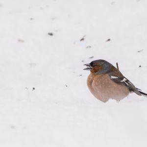 Peippo seisoo lumessa Sotkamossa maanantaiaamuna 15. toukokuuta. Kainuussa satoi yhden yön aikana lunta 20 senttimetriä.