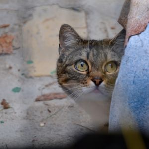 Kissa karkuteillä. Vain joka kymmenes löytökissa pääsee takaisin kotiin.