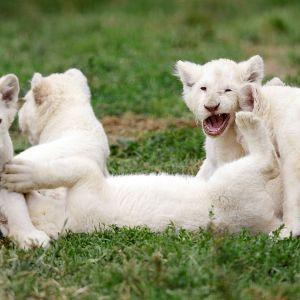 Viisi valkoista leijonanpentua leikkivät tšekkiläisessä eläintarhassa.