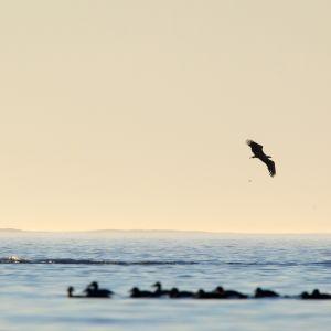 Merikotka kaartelee haahkalauman yläpuolella Utössä. Kuva on vuodelta 2011.