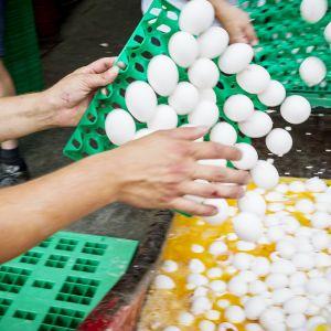 Kananmunia tuhotaan Ontsweddessa, Alankomaissa 3. elokuuta.