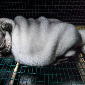 Oikeutta eläimille -järjestön kuvaama turkiseläin