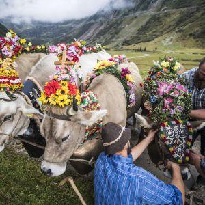 Maanviljelijät koristelevat kukilla lehmänsä, kun ne laskeutuvat alppilaitumiltaan Wassenissa, Sveitsissä 16. syyskuuta.