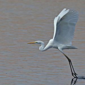 Valkoinen iso lintu on juuri laskeutumassa jalat edellä veteen