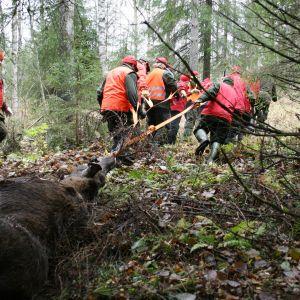 Kaatunutta hirveä kuljetetaan metsässä.