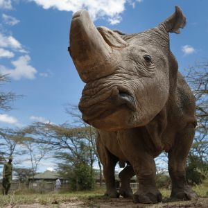 42-vuotias Sudan on viimeinen zairenleveähuulisarvikuonouros. Sudanilla on todella isot sarvet kuononsa päässä.