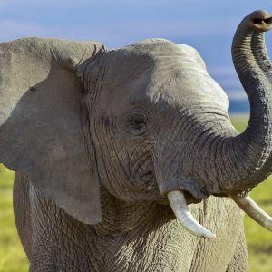 Norsu Amboselin kansallispuistossa Keniassa