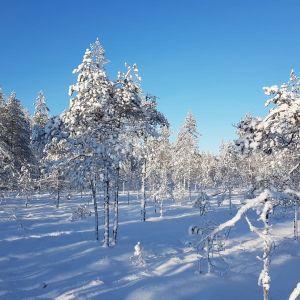 Lumisia puita suoksi ennallistettavassa metsässä.