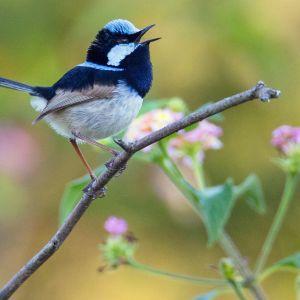 Pikkulintu pensaan oksalla, taustalla vaaleapunakukkainen kasvi. Pitkäpyrstöisellä linnulla on harmaa vatsapuoli,  tummansininen kurkku, posket ja selkä, vaaleansininen päälaki ja ruskeat siivet.