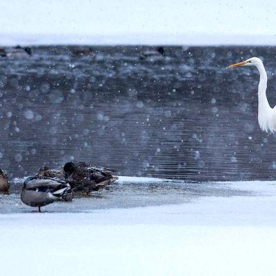 Jalohaikara sorsien kanssa lumisateessa sulan joen varressa