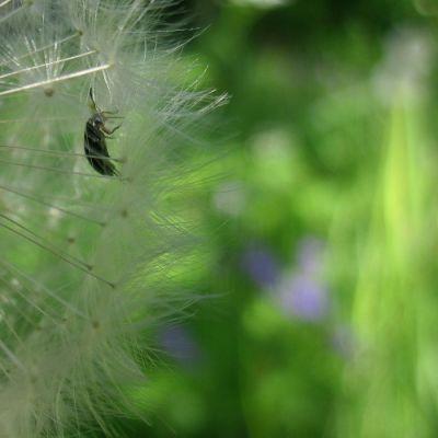 Voikukanhaituvia, joissa pieni koppakuoriainen