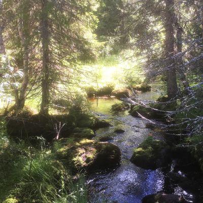 Metsäpuro Syötteen kansallispuistossa.
