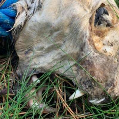 Skalle av ett lodjur med ett blått rep runt halsen. Ligger på marken i gräset.