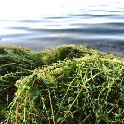 Vesiruttoa on Littoistenjärven rannoilla isoissa kasoissa.