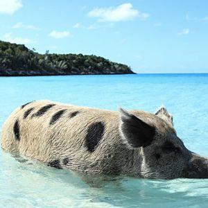 Luontodokumentti tutustuu sian uskomattomaan sopeutumiskykyyn ja ominaisuuksiin.