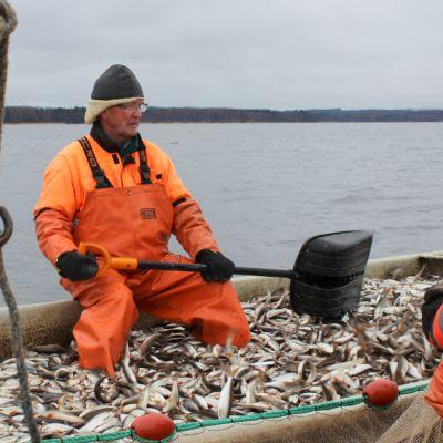 Ammattikalastaja Tarmo Tolvanen kalasaaliinsa kanssa veneessä.