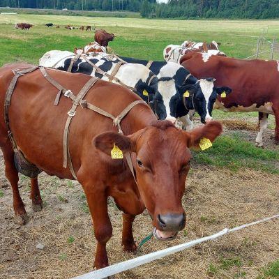Lehmiä kesälaitumella.