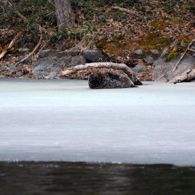 Saimaannorppa osittain sulaneella jäällä.