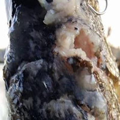 en gädda som fångats i Littois träsk är full av illaluktande blåsor.