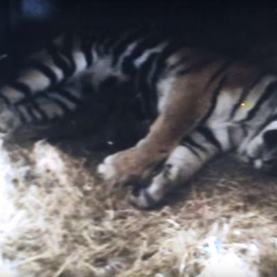 Pesäkameran kuva tiikeriemosta ja pentueesta.