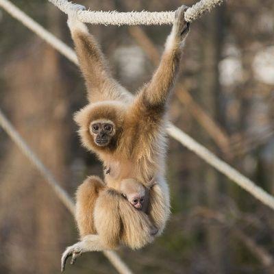 Oranssipunainen gibboni roikkuu köydestä kaksi käsin ja jalat kippurassa. Pieni poikanen on takertunut emon vatsakarvoihin.