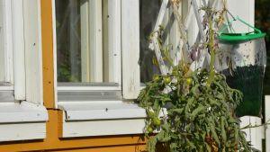 Stora mängder flugor fångas i speciella flugfångarpåsar